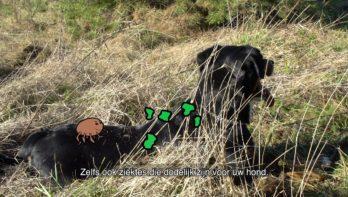Honden komen steeds vaker met teken in aanraking