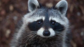Petitie tegen afschieten van wasberen