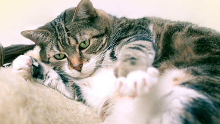 Suikerziekte bij katten komt steeds vaker voor