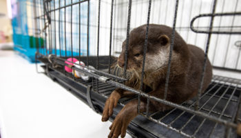 Otter in kooi