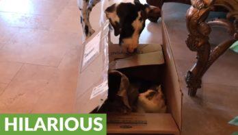 Hond schrikt van kat in doos