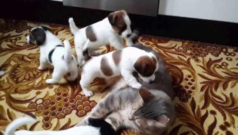 Jack- Russell-pups spelen met kat
