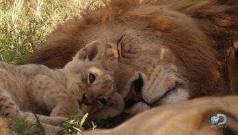 Kleine leeuwtjes leren in de 'kleuterklas'