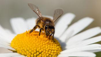 bijenvolken