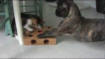 Teamwork Boxer en kat