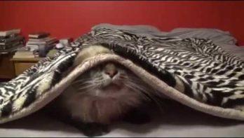 Kat verstopt onder deken