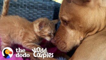 Pitbull en kitten zijn ongelooflijk schattig