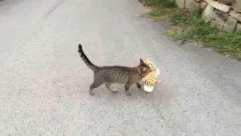 Kat 'leent' tijgerknuffel van de buren