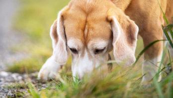 Ook honden last van eikenprocessierups