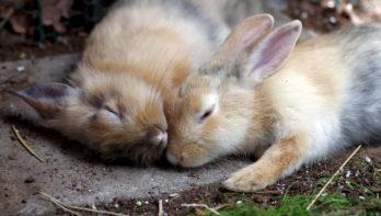 Castratie van een konijn