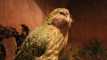 Zeldzame operatie voor kakapo-papegaai
