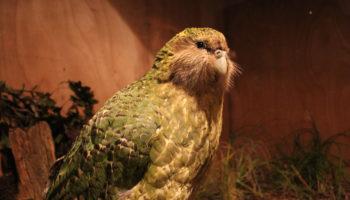 kakapoa-papegaai