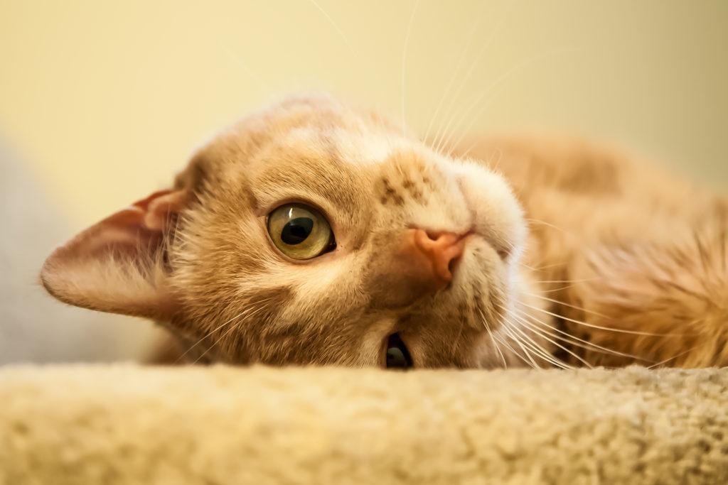 spelen katten catnip