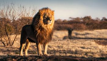 leeuw bedreigd uitsterven