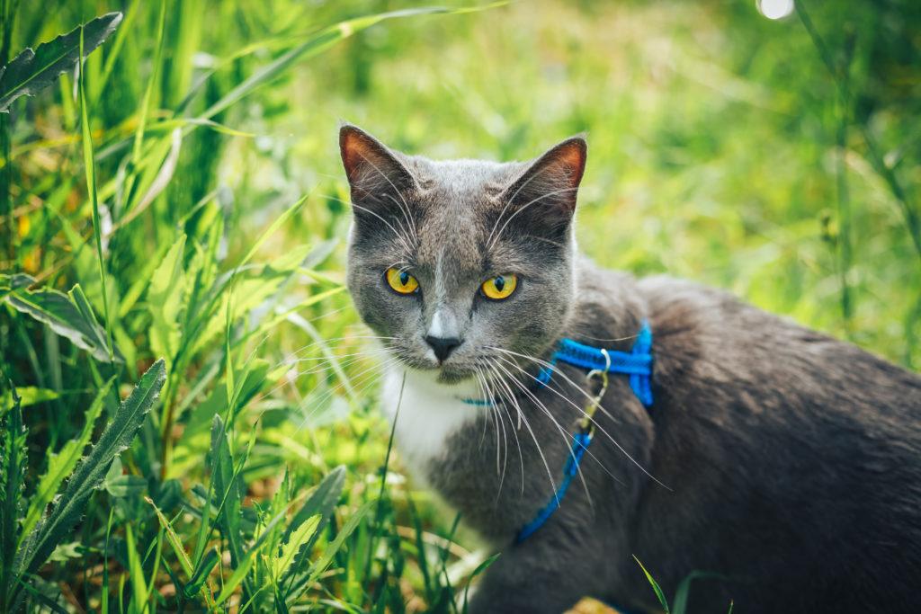 kat voor het eerst naar buiten harnas