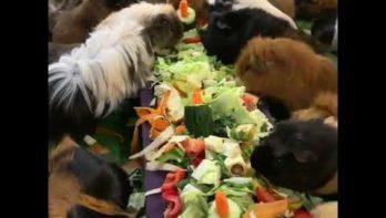 Uitgebreid diner voor cavia's