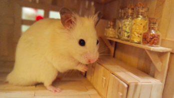 Hamster verkent zijn nieuwe keuken