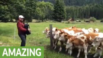 Koeien haasten zich om naar de muziek te luisteren