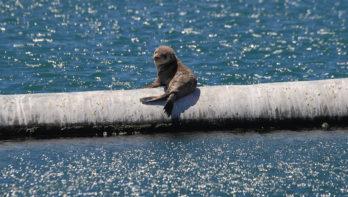 Aangrijpende spot tegen Namibische zeehondenjacht