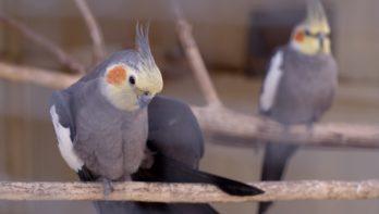Valkparkiet voeren - tips voor een gezonde vogel
