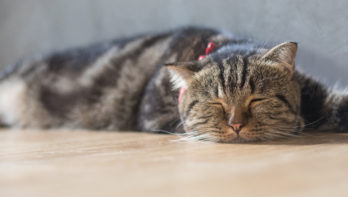 FIP kat – Feline Infectieuze Peritonitis