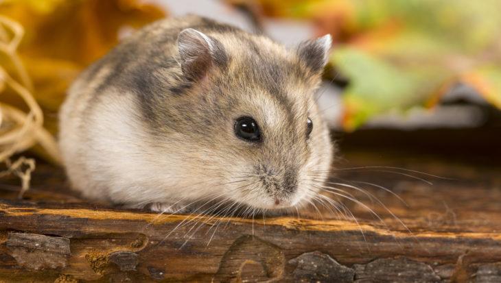 Juiste bodembedekking voor hamsters