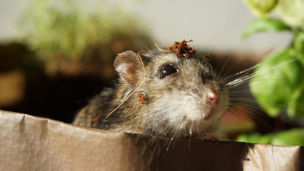 bodembedekking hamster graven