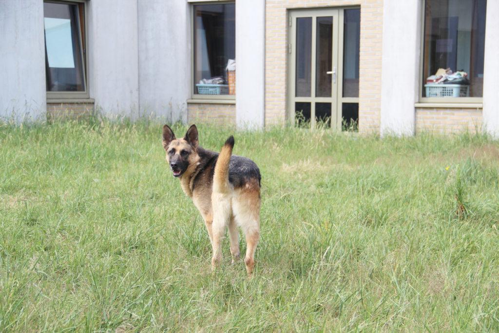 Ajax herder asiel
