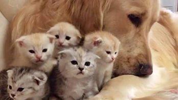 Golden retriever past op de kittens