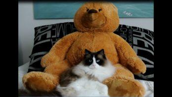 Kat verzot op zijn grote beer