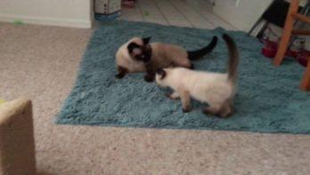 Pleegkittens spelen met 2 volwassen katten