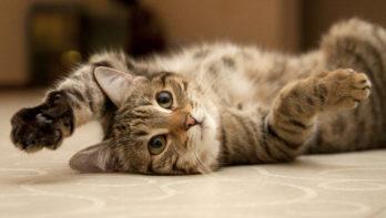 Castratie kat: kosten, leeftijd, voor - en nadelen