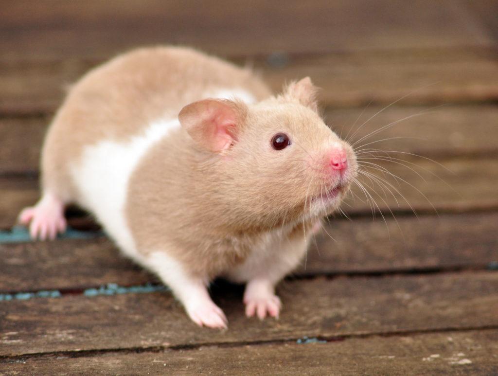 hamster een ren aan kooi