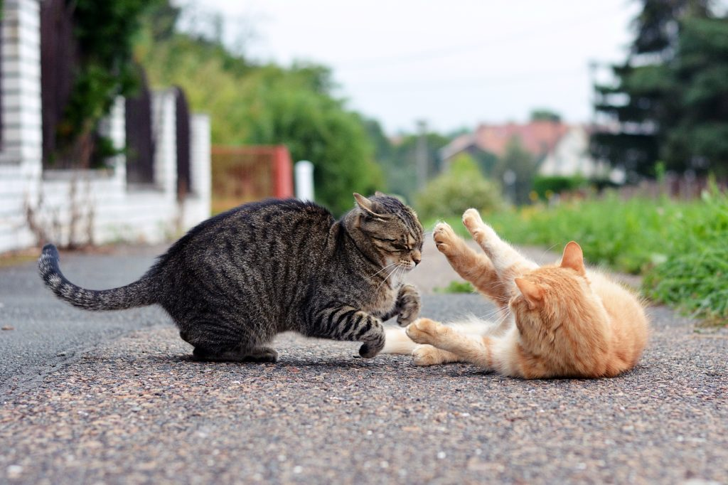 castratie van een kat vechten