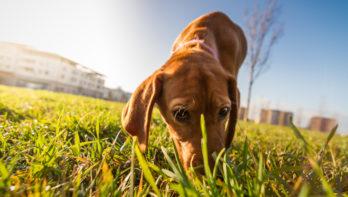 Waarom eet mijn hond poep?