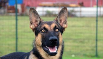 bobbie hond herder asiel