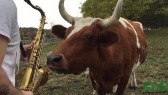 Koeien ontdekken Saxofoonmuziek