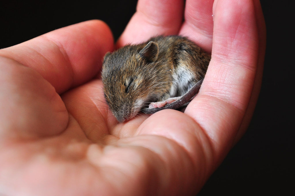 muis tam maken: verzorger