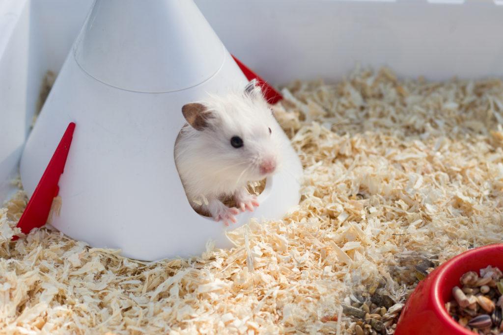 hamster op leeftijd: klimmen