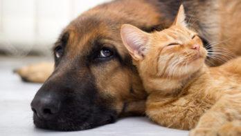 Schade door hond of kat: wat is verzekerd?