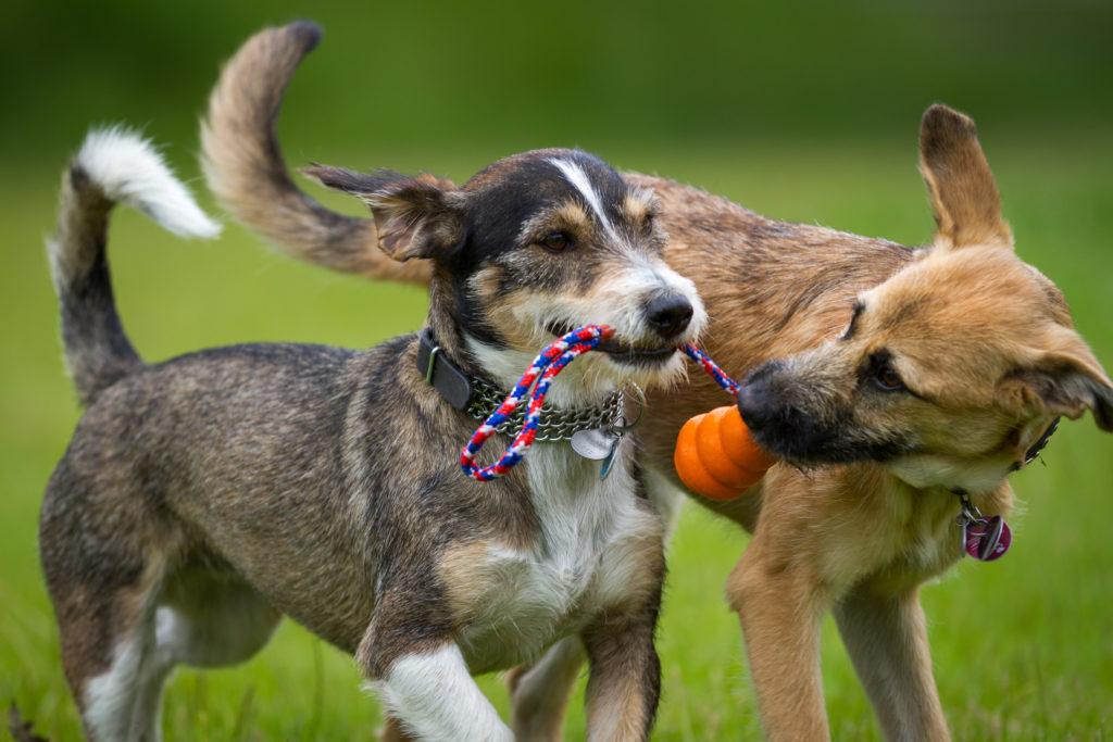 hond spelen of vechten functie