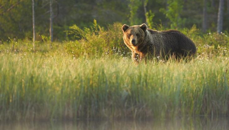 Wilde bruine beer in Zuid-Duitsland gespot