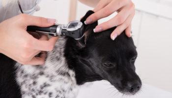 oorontsteking bij hond