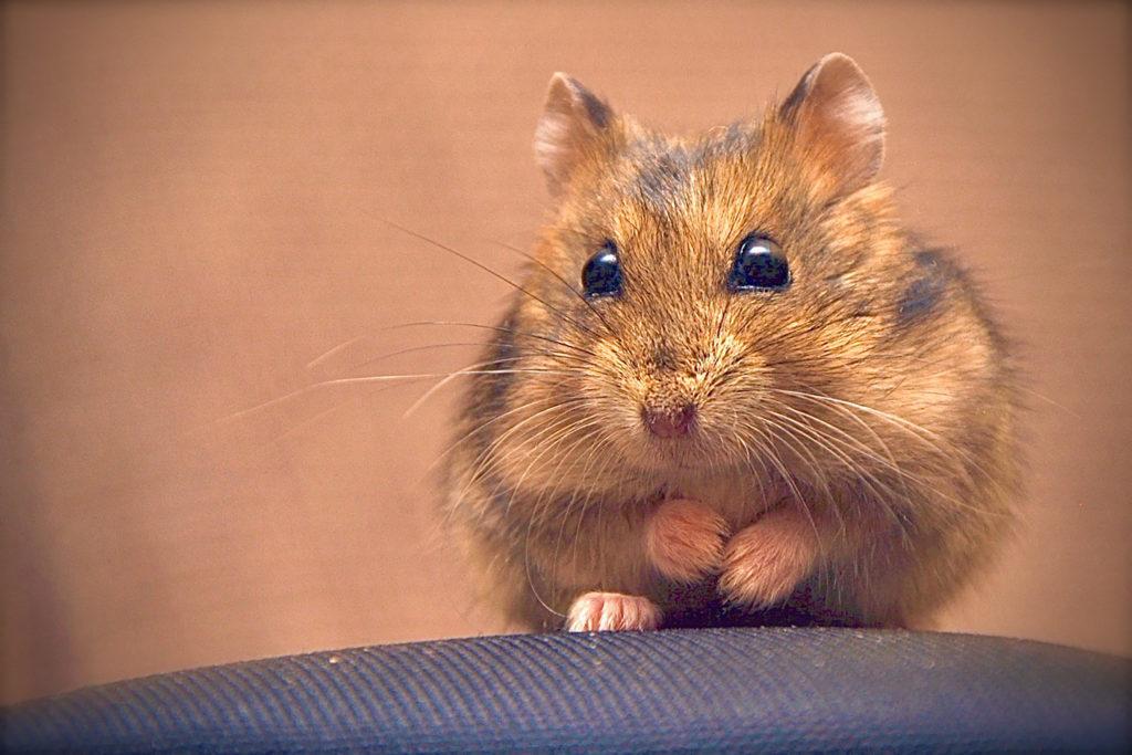 hamster op leeftijd: minder actief