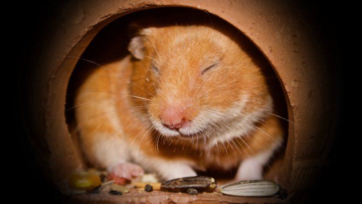 Hamster op leeftijd: levensverwachting en verzorgingstips