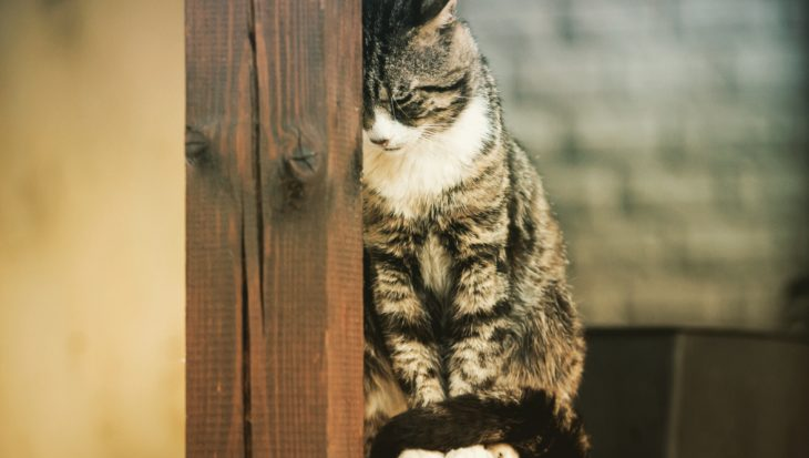 FIV en kattenaids