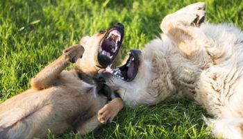 honden spelen of vechten