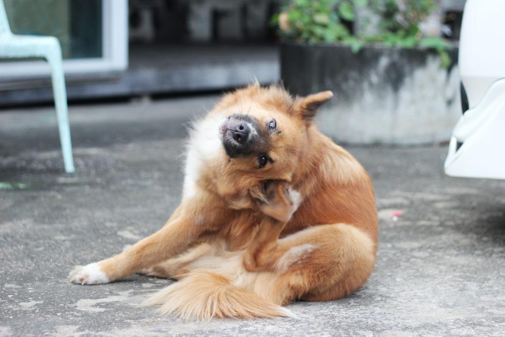 oorontsteking hond symptomen