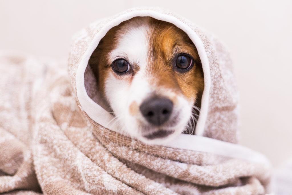 oorontsteking hond afdrogen