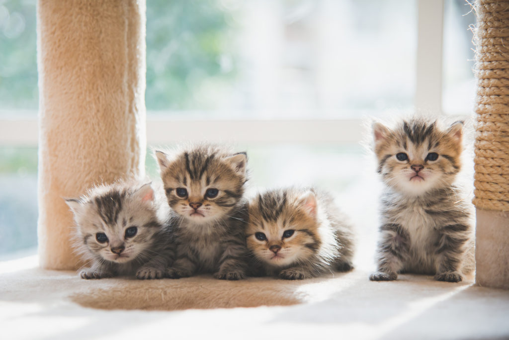 kattenziekte kittens